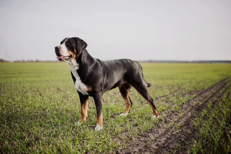 greater swiss mountain dog standing up
