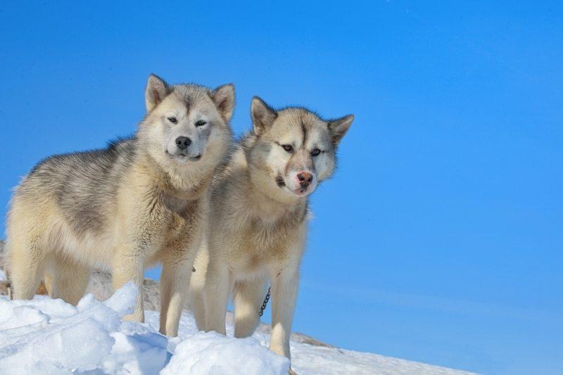 greenland dog sled breed
