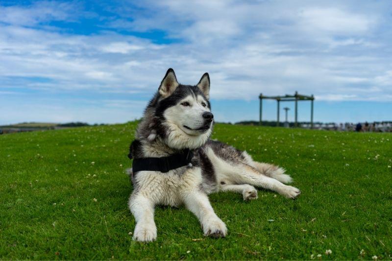 husky siberiano grande