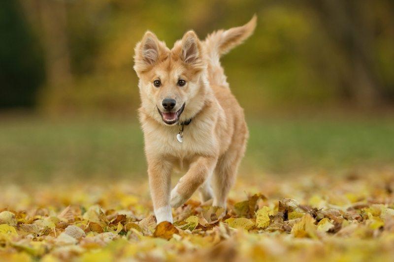 icelandic sheepdog running