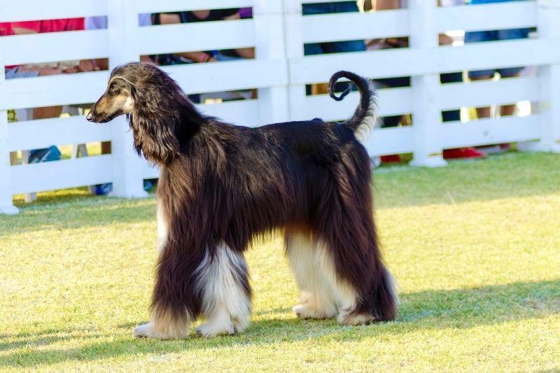 lebrel afgano perro grande