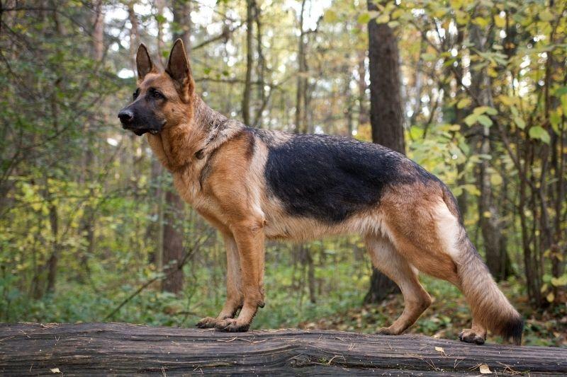 pastor aleman razas perros grandes