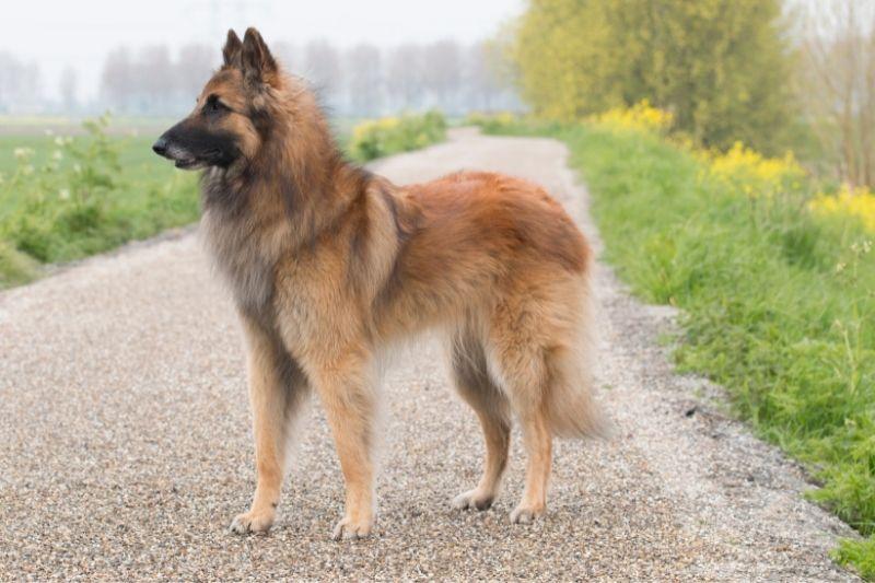 pastor belga razas de perros grandes