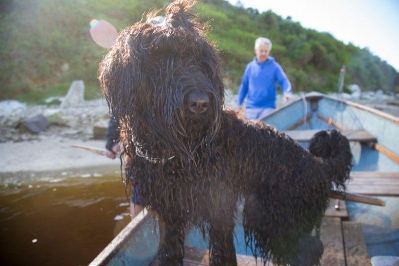 perro negro ruso grande