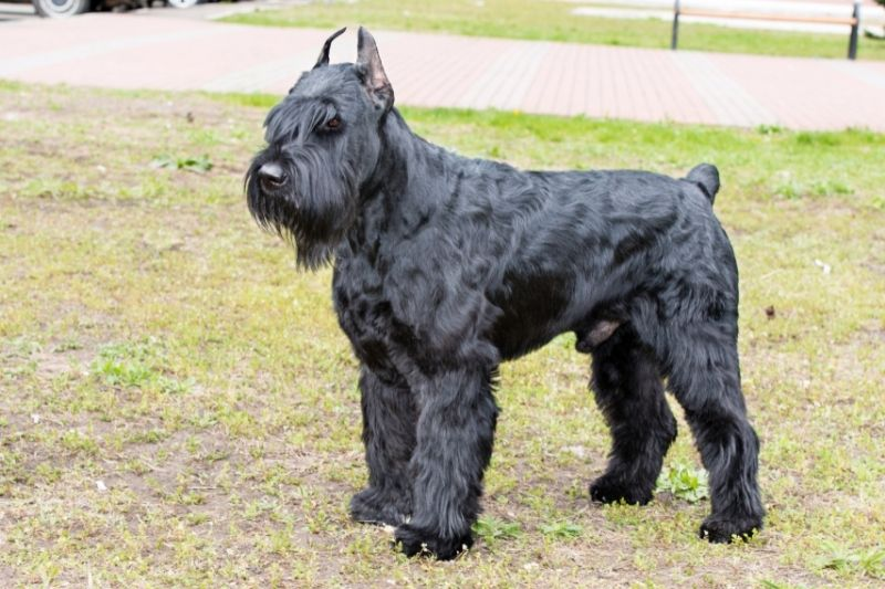 schnauzer gigante perro