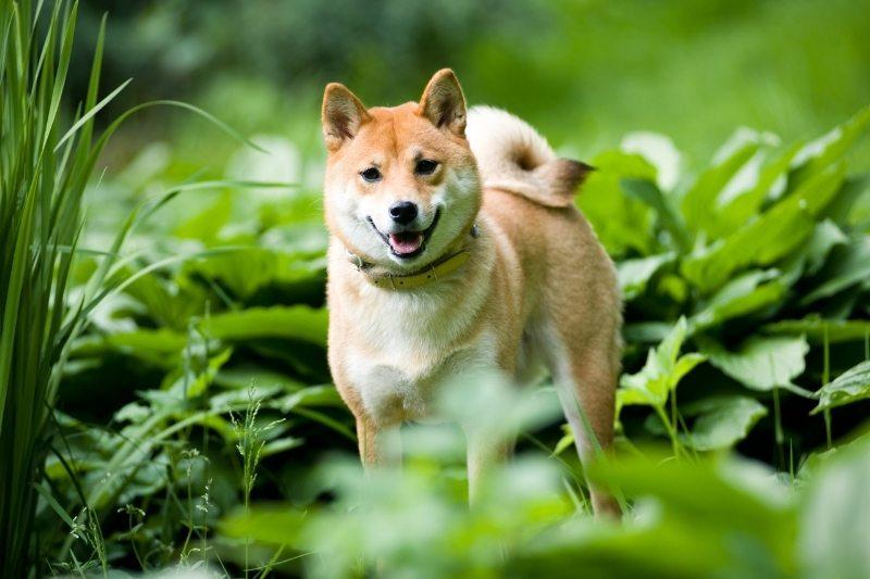 shiba inu chien qui ressemble à un renard