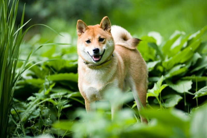 shiba inu fox dog