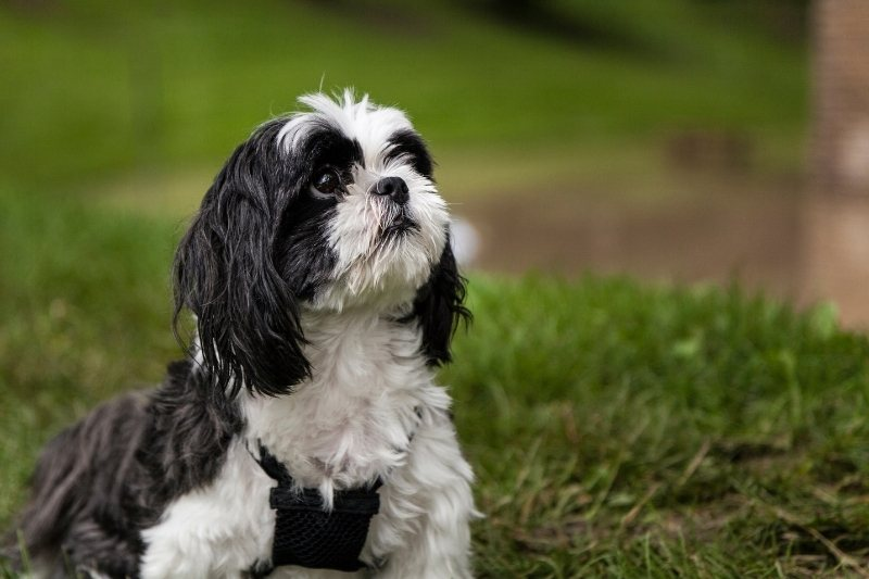 shih tzu best dogs to have in college