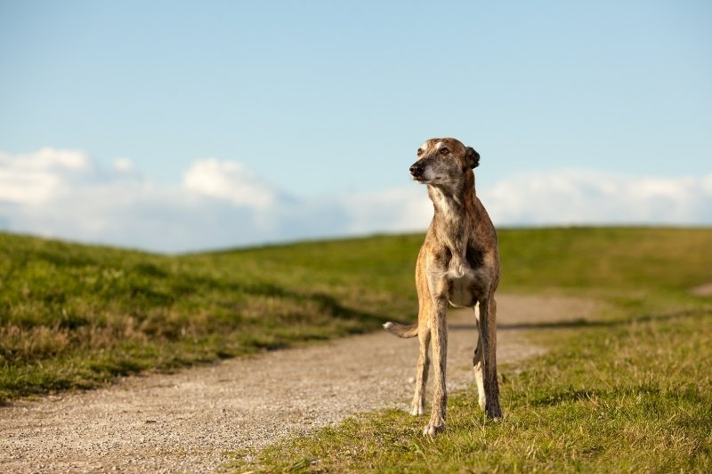 whippet standing up
