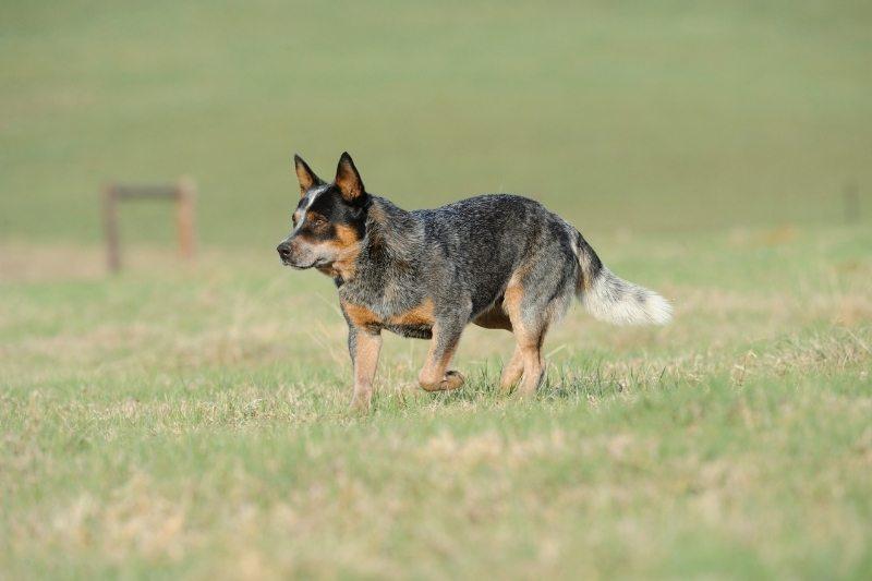 australian cattle dog horse breed