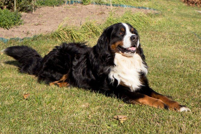 bernese mountain dog horse dog breed