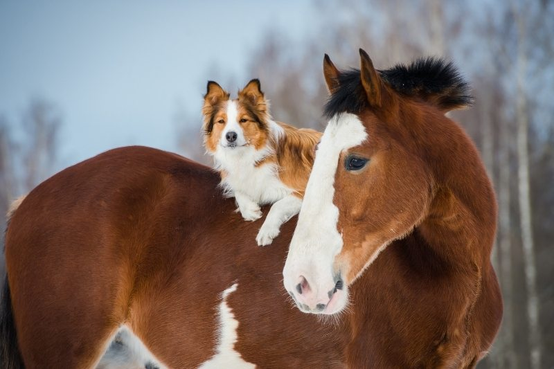 border collie breed with horse
