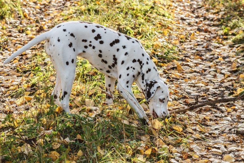 dalmatian with stick