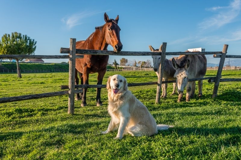 golden retriever with horse