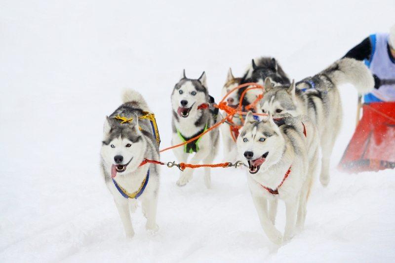 husky sibérien traîneau