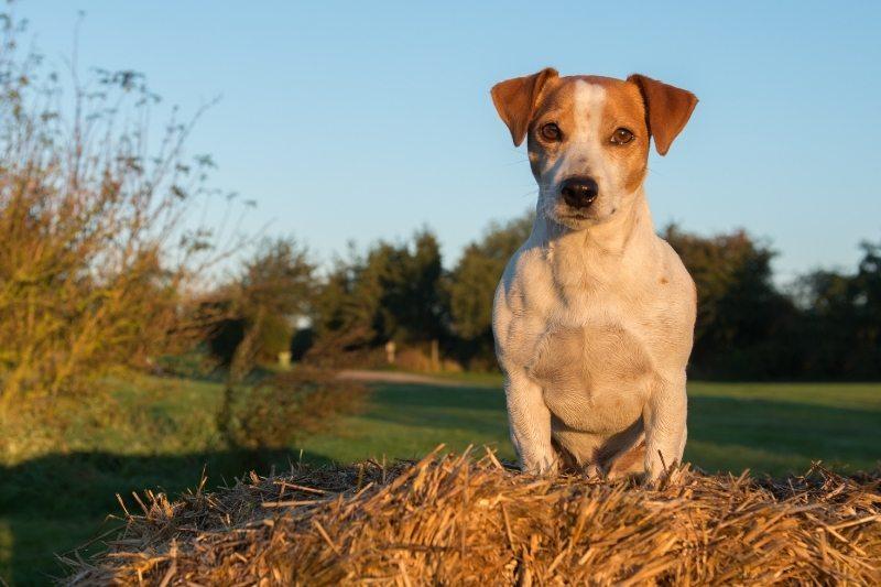 jack russell terrier field