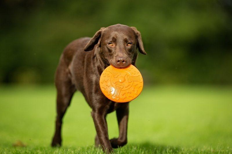 labrador con un frisbee