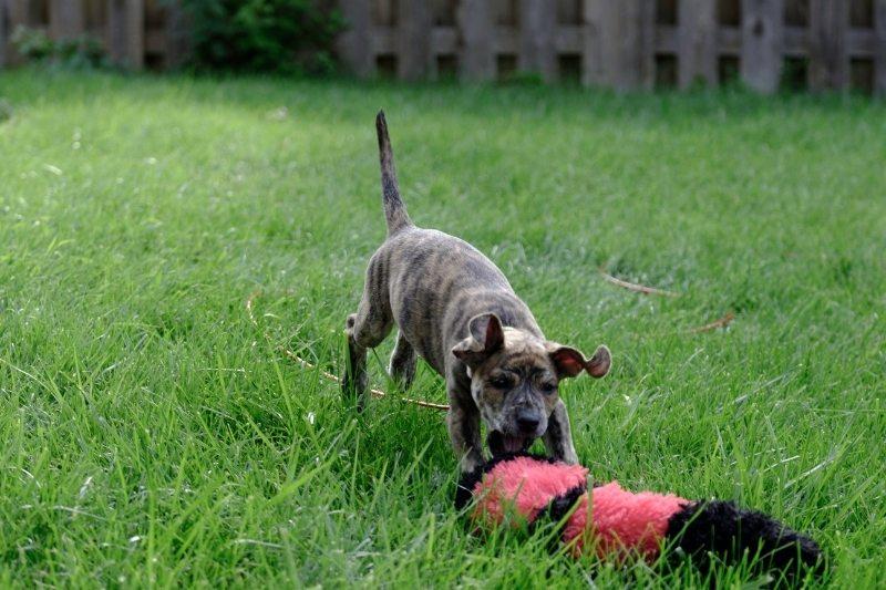 mountain cur dog
