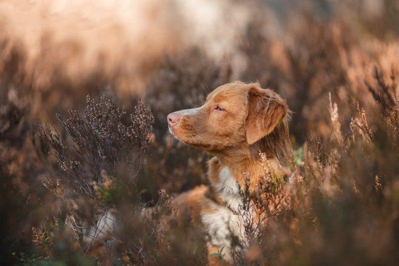 perro retriever de nueva escocia