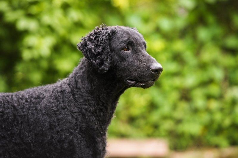 perro retriever de pelo rizado