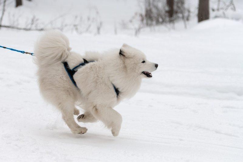 samoyède chiens de traineaux